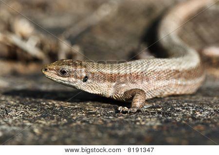 Viviparous Lizard (lacerta Vivipara)