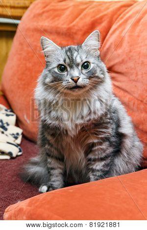 Portrait Of A Norwegian Cat