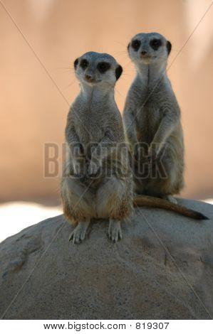 Meerkat Buddies