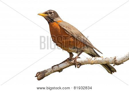 Robin On Birch Branch