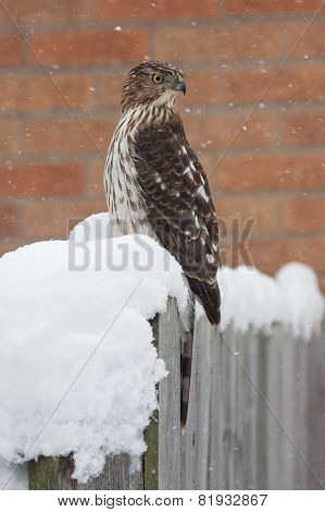 Snow Twisted Cooper's Hawk