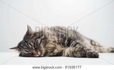 Lazy Cat Napping
