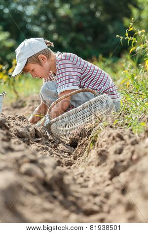 Teenage Farmer At Root Vegetables Harvesting