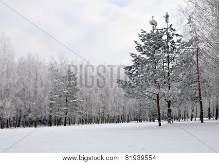 Winter landscape in the park.Winter fir covered with snow.