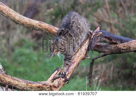 Scottish Wildcat Walking Along A Branch