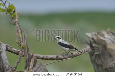 Northern Wheatear, Oenanthe Oenanthe, Single Male