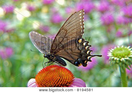 black butterfly on daisy