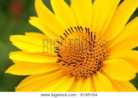 Yellow Flower Arnica