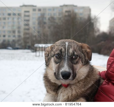 Gray Dog Sits On Hands At Mistress On Snow And Houses