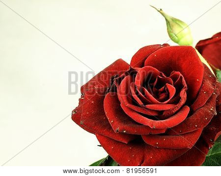 True Red Rose. Slightly Damaged Petals.