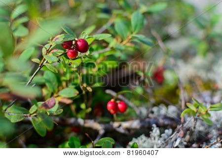 Lingonberries Closeup