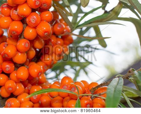 Buckthorn Background