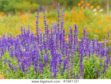 Lavender Flowers In Garden.