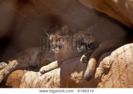 Two Cougars Taking a Nap