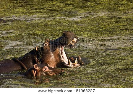 Wild mother hippo and its baby swimming in the river