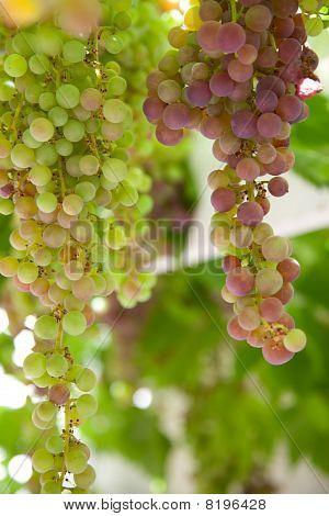 Green Grape Cluster On Vine