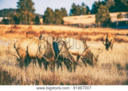 Elks Gang Meadow