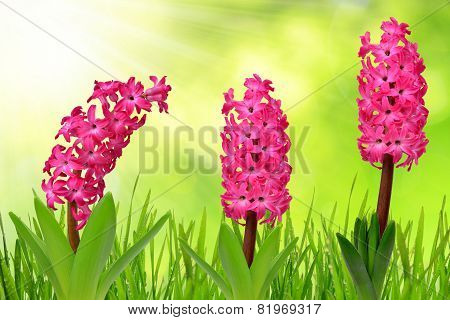 Hyacinth with dewy grass