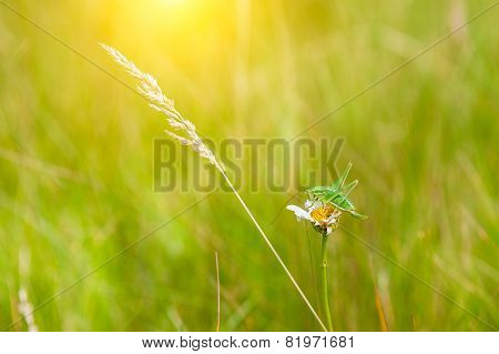 Green Grass In The Meadow And Grasshopper
