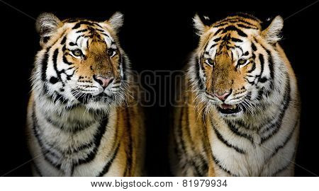 Twin Tigerr. (and You Could Find More Animals In My Portfolio.)
