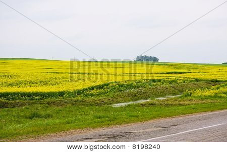 Road Through The Rape Field
