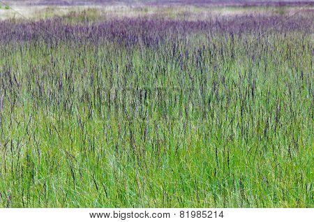 Purple Moor Grass (molinia Caerulea)
