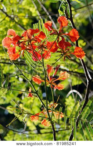 Royal Poinciana (delonix Regia)