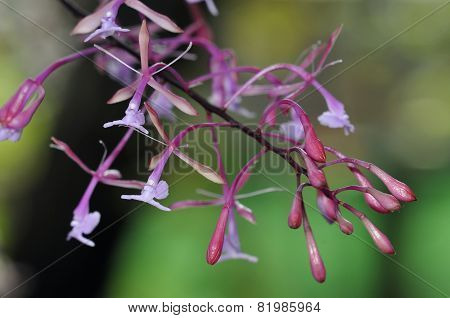 Goat-horned Epidendrum Orchid