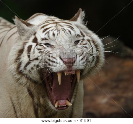 White Tiger Growling Image & Photo | Bigstock