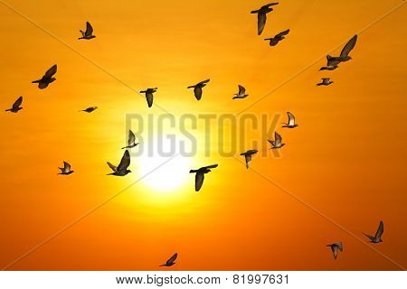 Doves (pigeons) Flying In  Sky
