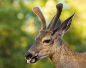 pic of black tail deer  - Male black tail deer sticking out its tongue - JPG
