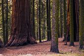 picture of redwood forest  - Sierra Nevada Forest with Giant Sequoias - JPG