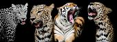 foto of panthera uncia  - Collection of portraits of Tigers and Leopard - JPG