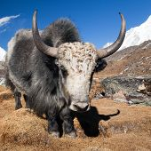 pic of yaks  - Yak on the way to Everest base camp and mount Pumo ri  - JPG
