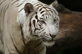 foto of white-tiger  - white tiger portrait - JPG