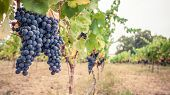 Постер, плакат: Pinor Noir grapes vineyard scene