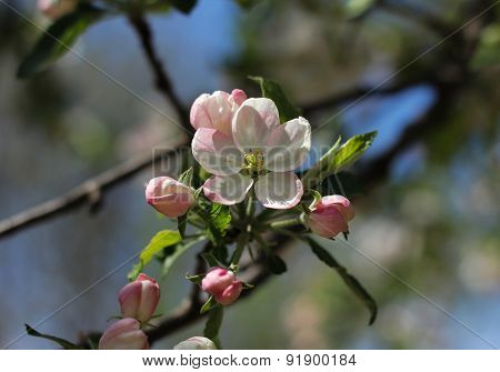 Spring Blossoming Apple-tree