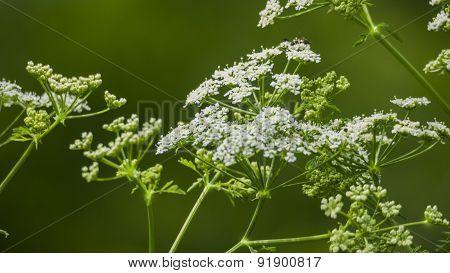 Poison Hemlock. Conium Maculatum. White Blooms.