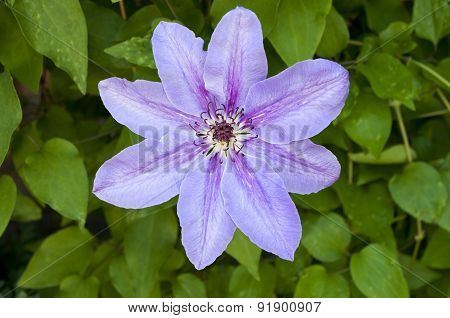 One Flower Clematis
