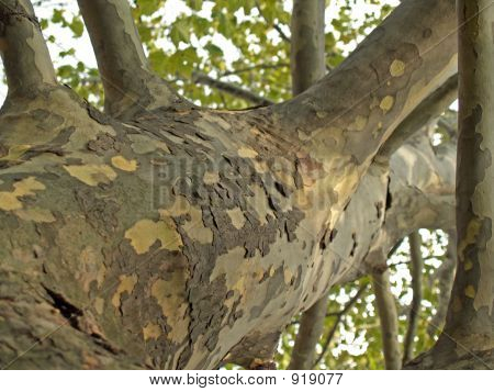Sycamore Tree Trunk