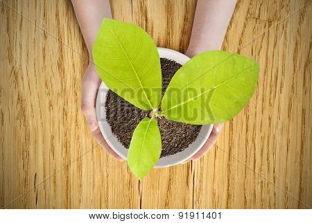 Pot Magnolia In Female Hands.