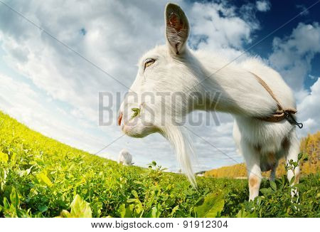 Goats grazing on the green summer meadow