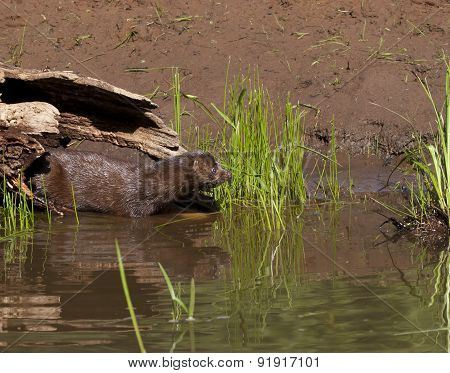 Mink Entering the Water from a Log