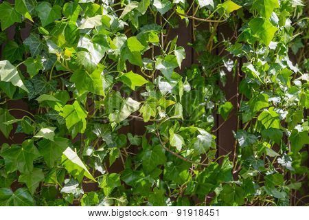 Climbing Ivy, Green Leaves Covering Rustic Wall On Sunny Day