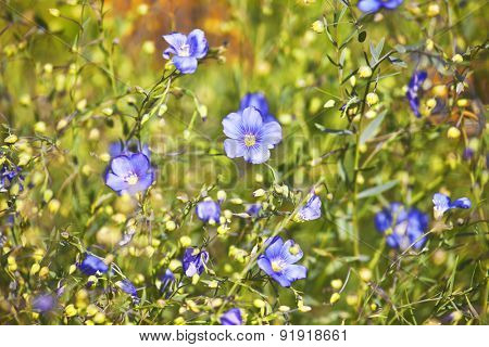 Summer field with blue flowers.