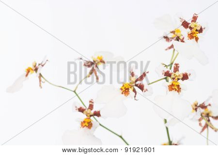 White Dancing Lady Orchids