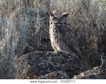 Great Horned Owl in the Daytime