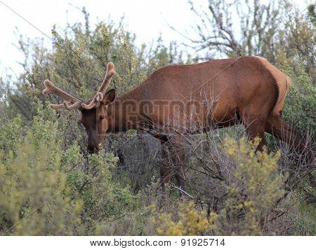 Roosevelt Elk Growing New Antlers