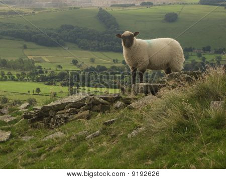 An English Sheep On A Hill Overlooking The Valley, Peak District National Park, Manchester, England