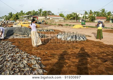 Women Staple Fish At The Beach In Negombo